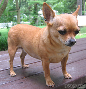 http://www.exposix.com/answers/Chihuahua-Pictures.html